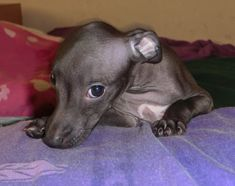 Italian Greyhound Puppies, Adorable Animals, Pitbulls, Places, Dogs, Pit Bulls, Doggies, Pitt Bulls, Pit Bull Terriers