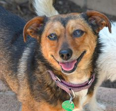 SCARLETT is an adoptable Dog - Chihuahua & Terrier Mix searching for a forever family near Marina Del Rey, CA. Use Petfinder to find adoptable pets in your area.