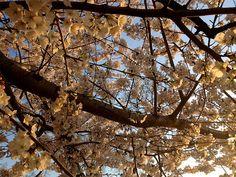 Cherry BlossomsDC7_MQ2013