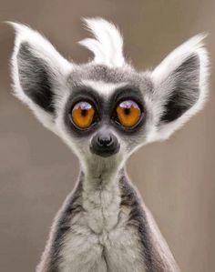 ❤ O.O ❤ Lemur