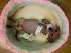 #what a chiweenie!         http://wp.me/p291tj-cy
