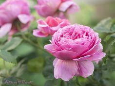 Rosenbild Im Rosengarten mit Alexandra
