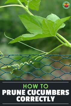 Pruning cucumbers - should you do it? Is it important? We answer those questions and more in our guide to pruning cucumbers the right way! plans How To Prune Cucumbers Correctly Home Vegetable Garden, Fruit Garden, Edible Garden, Veggie Gardens, Cucumber Flower, Cucumber Plant, Planting Vegetables, Growing Vegetables, Growing Plants