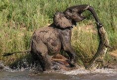 Croc regrets chomping this elephant's trunk