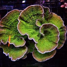 montipora plate coral - Google Search