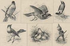 Victorian Engraved Bird Illustrations
