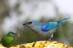 Foto sanhaçu-de-encontro-azul (Tangara cyanoptera) por Evandro Pereira   Wiki Aves - A Enciclopédia das Aves do Brasil