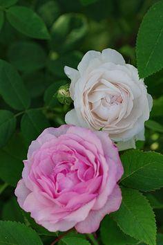 Damask Rose 'Botzaris'  (France, 1856) with Hybrid Perpetual Rose 'Lisette de Béranger' (France, 1867)