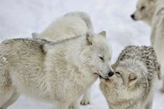 White Wolf : Amazing video footage of Arctic/Antarctic animals in action