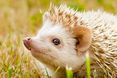 Timian - Our Herd | West Coast Hedgehogs