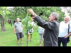 Rodili vaše slivky tento rok menej? Stihnite ešte v auguste toto, strom bude silnejší a o rok zarodí väčšie ovocie! Fruit Trees, Youtube, Gardening, Ideas, Author, Garten, Lawn And Garden, Thoughts, Youtube Movies