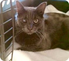 Westampton, NJ - Domestic Longhair. Meet C-62494 Calvin (Petvalu), a kitten for adoption. http://www.adoptapet.com/pet/12796408-westampton-new-jersey-kitten