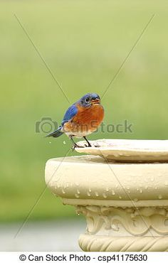 Stock Photo - Bluebird's Rainy Day - stock image, images, royalty free photo, stock photos, stock photograph, stock photographs, picture, pictures, graphic, graphics