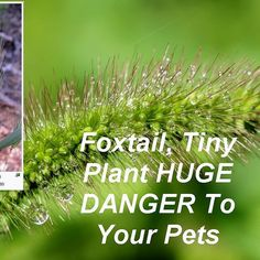 Foxtails can become a health hazard for dogs and other domestic animals and a nuisance for people. Please read and take heed. Danger For Your Pets! In dogs and other domestic animals the foxtails can become irreversibly lodged. Foxtails can also enter the nostrils and ear canals of many mammals. In all these cases the foxtail can physically enter the body through muscular movements or in the case of nostrils air flow can cause the foxtails to continue to burrow through soft tissues and…