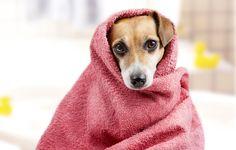 Prepara a tu perro para el baño: cómo quitarle el miedo
