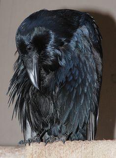 Common Raven (Darth 2010April11) by Glori Berry, via Flickr