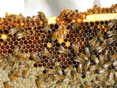 bees high altitude_Sustainable Homesetading