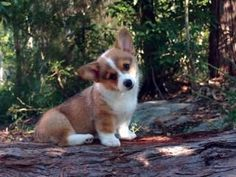 Right breed for you? Pembroke Welsh Corgi information including personality, history, grooming, pictures, videos, and the AKC breed standard. #corgi, #welshcorgi