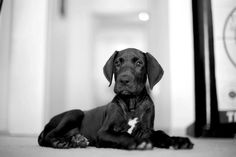 Black #Dane #Puppy - Beautiful!