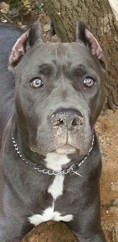 Gypsy blue pitbull