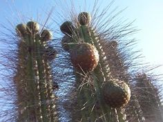 copao fruta - Buscar con Google Fauna, Cactus Plants, Google, Plants, Cacti, Cactus