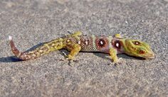 Amazing patterned gecko  photo by Father Mark de Silva