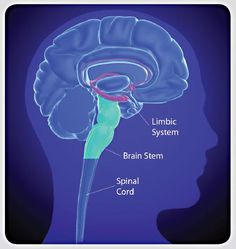 Brain image highlighting the limbic system, brain stem and spinal cord