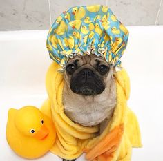 In case you want a secret associate dog, any pug can be an excellent choice. Pug Puppies, Cute Dogs And Puppies, Pet Dogs, Pets, Doggies, Doug The Pug, Cute Funny Animals, Cute Baby Animals, Pugs In Costume
