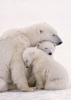 polar bear with two cubs in the Arctic