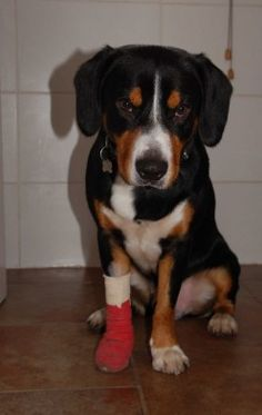 This is what a bandaged paw should look like and first aid kit list