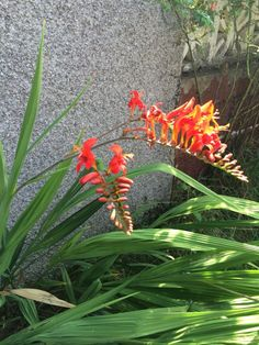 Crocosmia (crocosmia cultivar): This is a perennial flower that grows from small corms, like gladiolas, to become about 2 ft. tall with brilliant orange or red summer flowers that butterflies love. Give it full sun and regular water and continue to care for the plant after the flowers are spent until the foliage yellows and dies back.