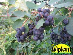 Amelanchier alnifolia 'Smoky', bärhäggmispel/saskatoon. Härdig stor buske med söta blåa bär i augusti. Vacker under alla årstider: Höjd:2-2,5 m.