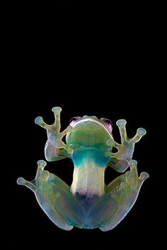 Transparency is a trait shared by all living glass frogs. In some species though, such as the Condor Glassfrog (Centrolene condor), the ventral peritoneum is white anteriorly, obscuring thus the heart and liver.  (Photo by Alejandro Arteaga on Flickr)