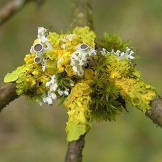 lichen and moss on a branch Photo by Michiel Thomas on Flickr
