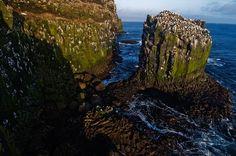 Northern gannets, Langanes Peninsula, Iceland