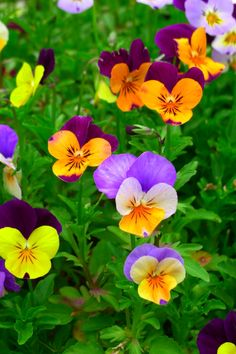 violas/pansies/johnny jump ups Amazing Flowers, My Flower, Colorful Flowers, Beautiful Flowers, Orange Flowers, Beautiful Beautiful, Cactus Flower, Exotic Flowers, Yellow Roses