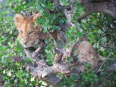 Lion cub recue in Kenya, recounted by Anne Kent Taylor a grantee of National Geographic's Big Cat Initiative. Heartwarming story reaffirming the value of strategic conservation efforts to the preservation of wildlife. Photo: Moses Manduku
