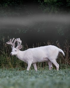 Albino White-tailed Deer by Ralph Curtis on 500px