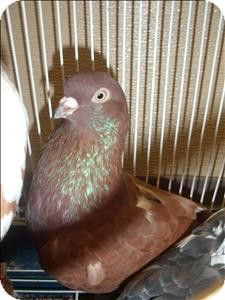 San Diego, CA - Pigeon. Meet Kyle a Pet for Adoption on @Tori Woodall-a-Pet.com and @SD Humane