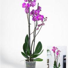"Phalaenopsis Orchidee, 2 Triebe, ""Rosa"",1 Pflanze"