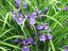 Blue Iris, Musk Ox Farm, Palmer, Alaska 2009