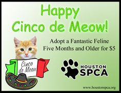Happy Cinco de Meow!!!  The Houston SPCA is having a feline fiesta and you're invited.  Today you can adopt any feline 5 months and older for just 5 dollars during our Cinco de Meow celebration!  www.houstonspca.org