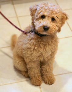 """Mom: Toffee, say """"cheese""""! Toffee: """"cheese? I want some!"""" Toffee, mini goldendoodle puppy"""
