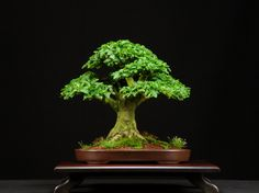 Privet Bonsai Trees