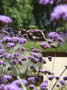 verbena bonairences- mosquito repellant :)