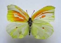 Rare cleopatra butterfly