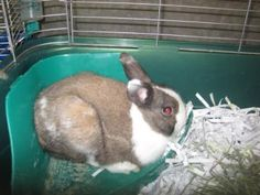 Species: Rabbit Animal ID: 21355456 Breed: American / American Age: 8 months 7 days Gender: Male Color: Brown / Cream Spayed/Neutered: No Greenville County Animal Care Services in Greenville SC