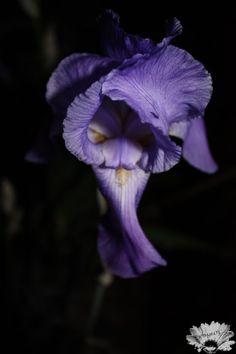 Iris at night