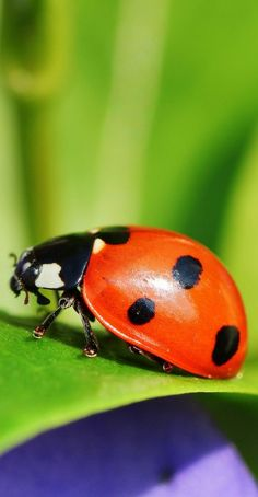 A ladybird close up - Animals Pictures Wild Animals Photography, Insect Photography, Close Up Photography, Wildlife Photography, Cool Insects, Bugs And Insects, Photo Coccinelle, Close Up Art, Animal Close Up