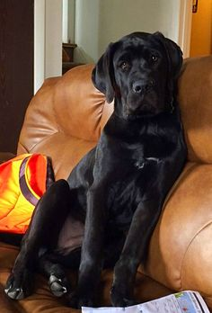 Great Dane. English Mastiff. Mix. Daniff. 5 months. Dozer